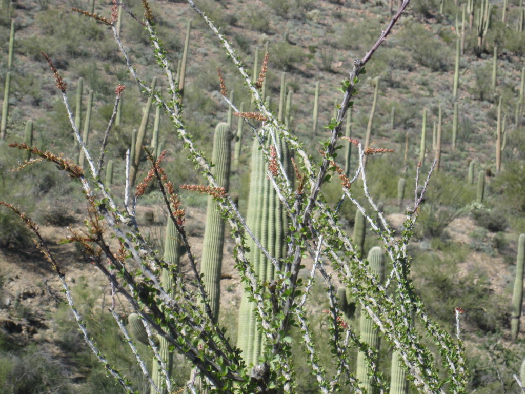 cactus and ocotillo