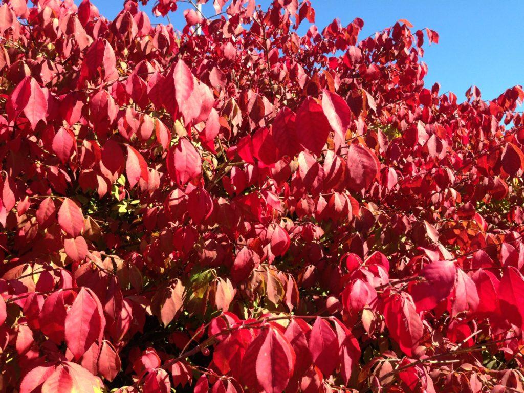 red eunonymous bush