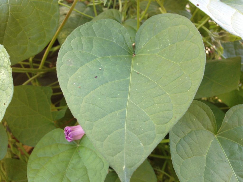 green heart-shaped leaf