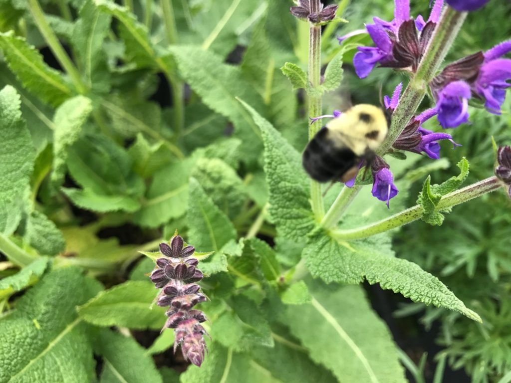 a bee on purple flowers w green foliage