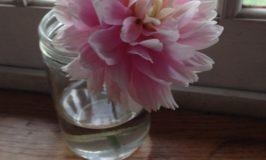 pink peony closeup