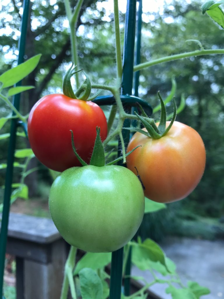 red, yellow, and green tomatoes on a vine