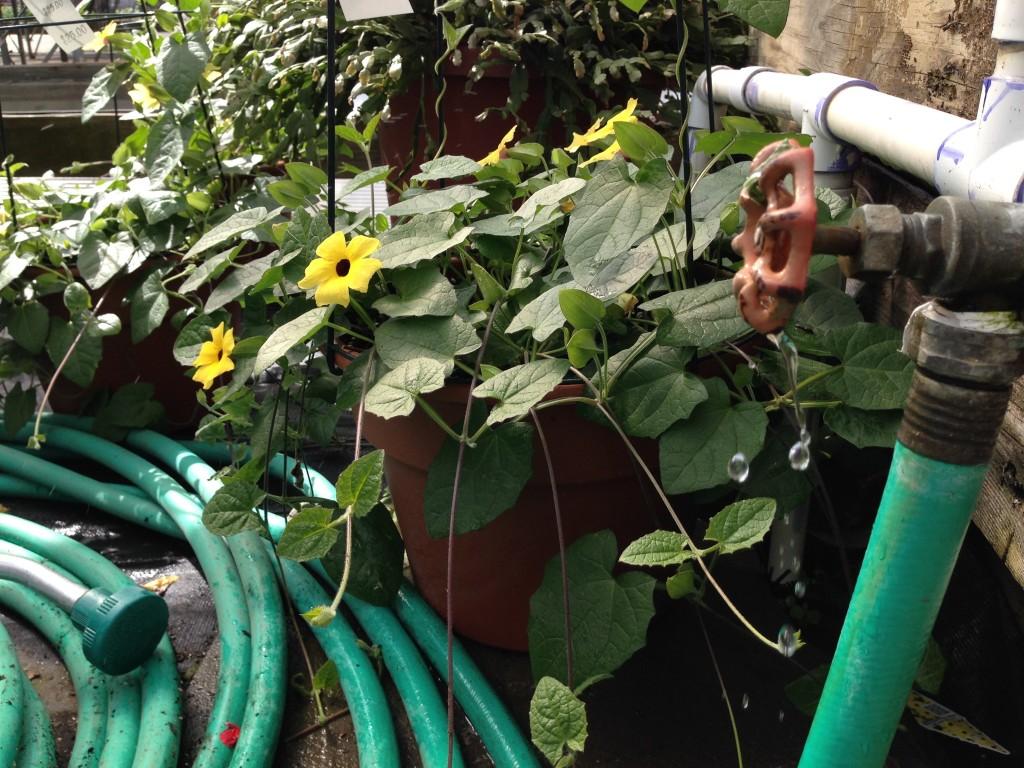 spigot, hose, plants