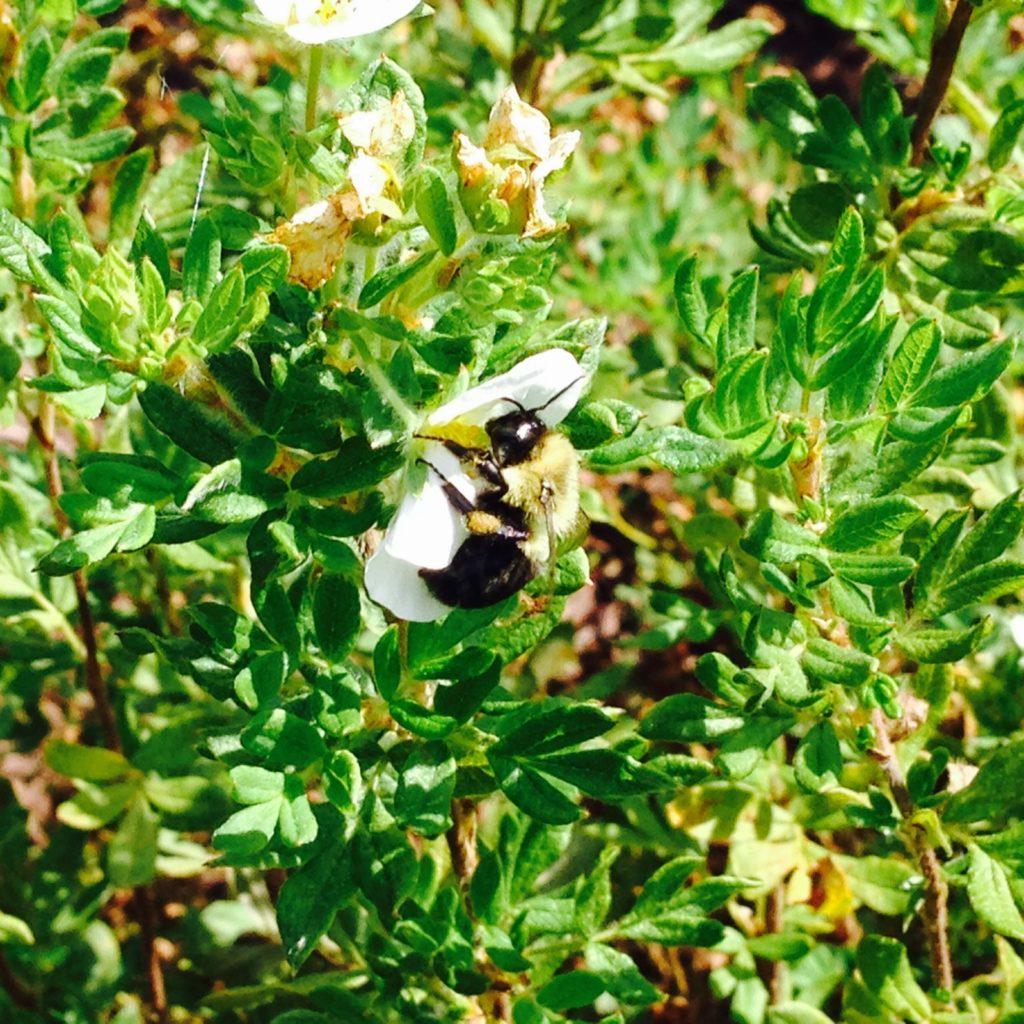 bee on a green shrub