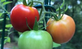 red, yellow, and green tomaotes